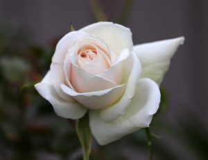 A white rose for a post on unlearning sex negativity